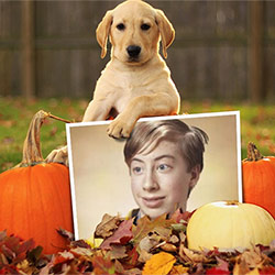 Photo effect - Labrador among pumpkins