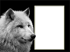 Frame with a white wolf